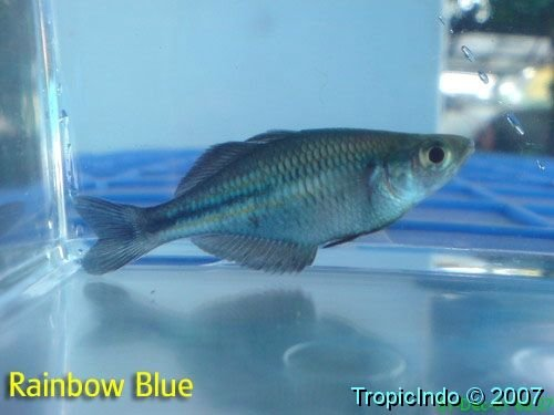 phoca_thumb_l_rainbow blue
