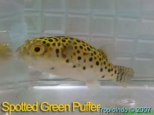 phoca_thumb_l_spotted green puffer