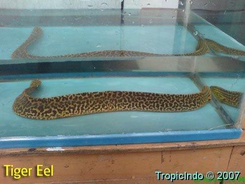 phoca_thumb_l_tiger eel 002