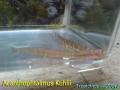 phoca_thumb_l_acanthophtalmus kuhlii