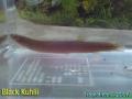 phoca_thumb_l_black kuhlii