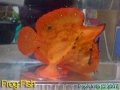 phoca_thumb_l_frogfish 001