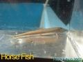 phoca_thumb_l_horse fish01