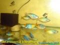 phoca_thumb_l_melanotaenia boesemani