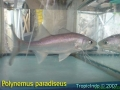 phoca_thumb_l_polynemus paradiseus