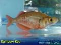 phoca_thumb_l_rainbow red
