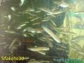 phoca_thumb_l_snakehead